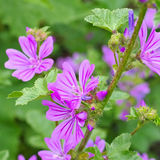Malva sylvestris, a medicinal plant. Purple malva sylvestris, a medicinal plant Royalty Free Stock Photography