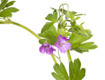 Malva sylvestris plant Royalty Free Stock Photos