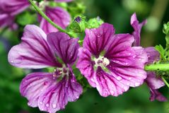 Malva sylvestris with rain drops. Malva sylvestris is also called common mallow, mallow, cheeses, high mallow, and tall mallow Royalty Free Stock Photos