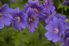 Malva sylvestris is a species of the mallow genus Malva in the family of Malvaceae and is considered to be the type species for. Malva with bee. Malva sylvestris stock images