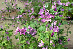 Malva sylvestris & x28;cheeses, high mallow and tall mallow& x29; Royalty Free Stock Images