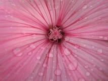 Malvablomma - makro Lavatera härlig blomma Trädgårds- växt royaltyfria bilder