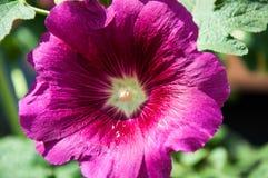 Malvablommaljus - violet arkivfoton