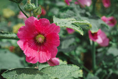 Malvaceae, Alcea Rosea, common hollyhock flowers. In a summer garden Stock Photography