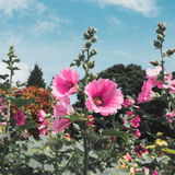 Malvaceae, Alcea Rosea, common hollyhock flowers. In a summer garden Stock Photo
