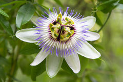 Malvaceae at Batumi Botanical Garden Stock Photo