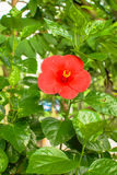 Malvaceae flower. Single red malvaceae flower with yellow pollen in Thailand Stock Photography