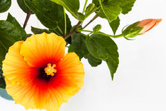 Malvaceae 2. Flowering plants in the mallow family Royalty Free Stock Photo