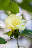 Malvaceae Gossypium Tomentosum. In park Royalty Free Stock Photos