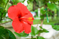 Malvaceaebloem Stock Afbeeldingen