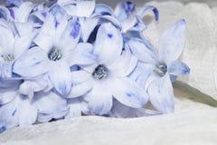 Malvafärgad blomma, hyacint Royaltyfria Foton