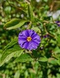 Malvafärgad för dvärg blommacloseup lilly Royaltyfria Foton