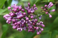 Malvafärgad lila blomma Royaltyfria Bilder