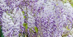 Malvafärgad Wisteriasinensis (den kinesiska wisteriaen), Glicina trädblommor, slut upp Royaltyfri Fotografi