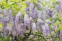 Malvafärgad Wisteriasinensis (den kinesiska wisteriaen), Glicina trädblommor, slut upp Arkivbilder