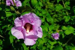 Malvales-dbestellung von Blütenpflanzen der Unterklasse der Rosen lizenzfreie stockfotografie