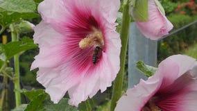 Malvarosa (alcea) di inizio dell'estate e un'ape del miele sul lavoro archivi video