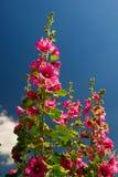 Malvarosa comune rosa Immagini Stock