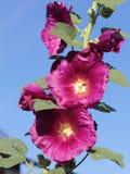 Malvarosa di fioritura davanti a cielo blu immagine stock libera da diritti