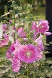 Malvarosa rosa Immagine Stock