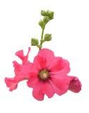 Malvarosa rosa dell'isolato fotografia stock
