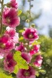 Malvarosa rosa di fioritura Fotografia Stock