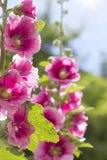 Malvarosa rosa di fioritura Fotografie Stock Libere da Diritti
