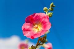 Malvarosa rosa luminosa & x28; Rosea& x29 del Alcea; stanno fiorendo in giardino mall Fotografia Stock