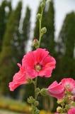 Malvarosa rosa-rosso fotografie stock