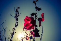 Malvarosa rosse con i sunlights di mattina Fotografia Stock Libera da Diritti