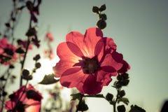 Malvarosa rosse con i sunlights di mattina Fotografie Stock