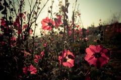 Malvarosa rosse con i sunlights di mattina Fotografie Stock Libere da Diritti