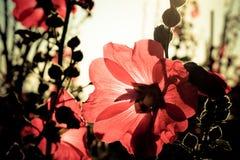 Malvarosa rosse con i sunlights di mattina Fotografia Stock
