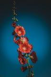 Malvarosa rosse con il fondo del cielo blu Fotografie Stock Libere da Diritti