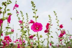 Malvarrosa rosada de la flor en jardín Imagen de archivo