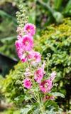 Malvarrosas rosadas Fotografía de archivo libre de regalías