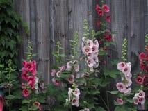 Malvas rosas contra um celeiro imagens de stock royalty free