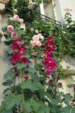 Malvas rosas cor-de-rosa magentas e rosas de escalada cor-de-rosa Fotografia de Stock