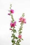 Malvas rosas roxas e cor-de-rosa no fundo branco Fotos de Stock Royalty Free