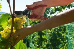 Malvasia grape harvest Royalty Free Stock Photo