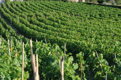 Malvasia vineyard Stock Photo
