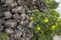 Malvastrum coromandelianum flowers Stock Image