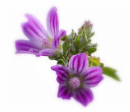 Malve violet Image libre de droits