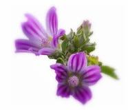 Malve violeta Imagen de archivo libre de regalías