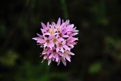 Malvenfarbene Blume Lizenzfreie Stockfotos