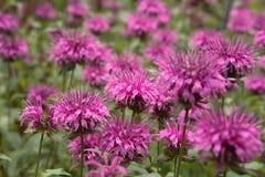 Malvenfarbene Blumen Lizenzfreie Stockbilder