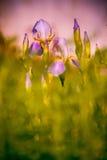 Malvenfarbene Iris Lizenzfreie Stockbilder
