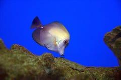 Malvenfarbene und gelbe Fische Lizenzfreies Stockfoto