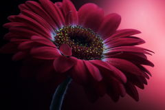 Malvenfarbener Blumen-Aufbau 1. stockfotos