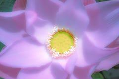 Malvenfarbenes Lotus in der weichen Farbe Stockbild